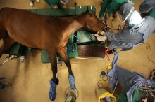 Large-animal veterinarians treat horses, cattle and other livestock.