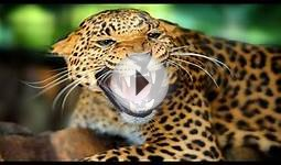 Animal Documentary Amazing Life Of Jaguar Full Documentary